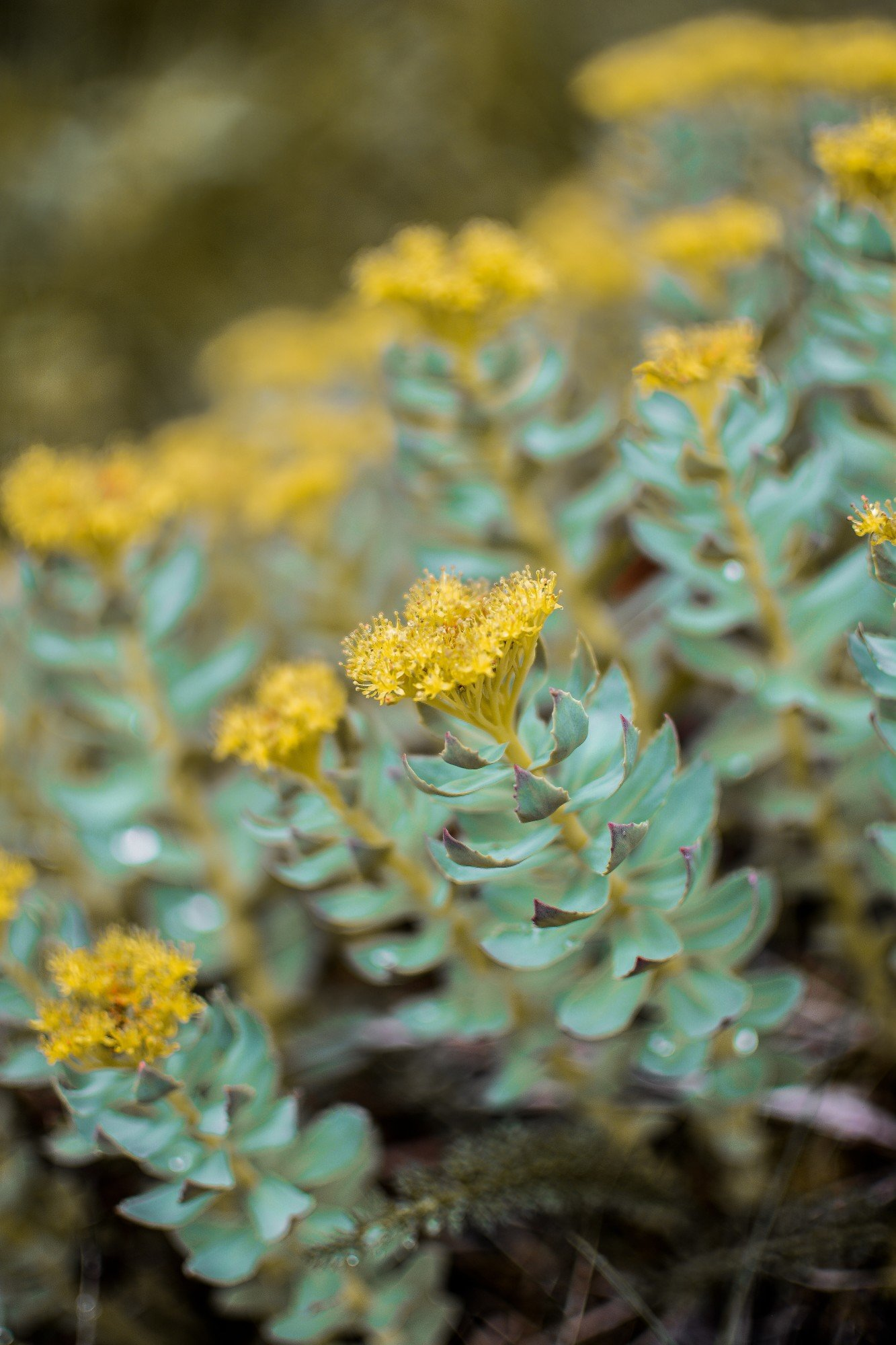 benefits of rhodiola rosea
